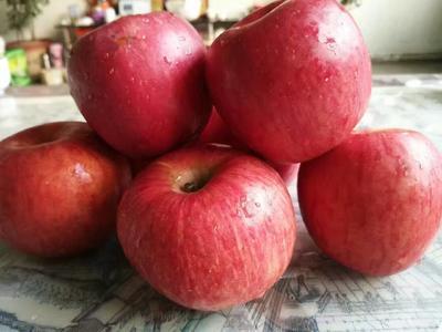 山东泰安岱岳区烟富10苹果苗 1~1.5米