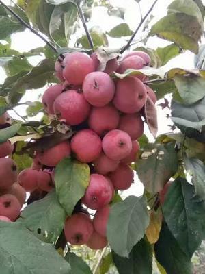 山东泰安岱岳区寒富苹果树苗 1~1.5米