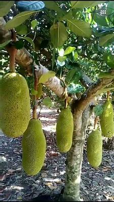 海南临高临高海南菠萝蜜 15斤以上