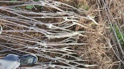 山东泰安岱岳区矮化短枝富士苹果苗 1~1.5米