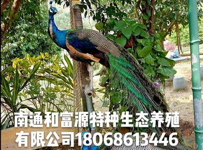江苏南通海安县商品孔雀