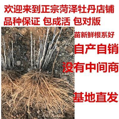 山东菏泽牡丹区观赏牡丹 20cm以上 10~12cm 0.5米以下