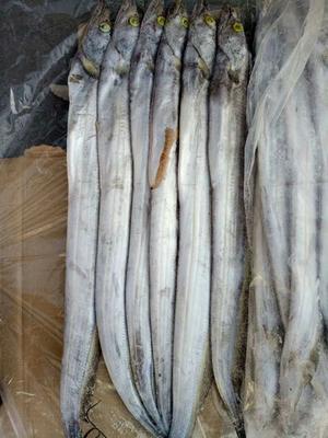 山东滨州沾化区东海带鱼 野生 0.5公斤以下