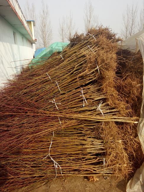 新川中岛桃苗 1~1.5米
