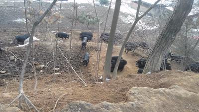 陕西汉中南郑县藏香猪猪苗