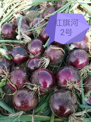 甘肃金昌永昌县红皮洋葱种子 95%以上