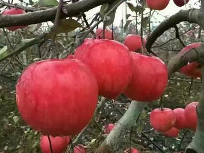 山东泰安岱岳区红将军苹果苗 1~1.5米