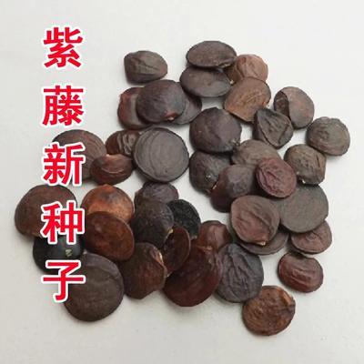 江苏省宿迁市沭阳县紫藤种子丰花紫藤种子 0.5米以下 1公分以下