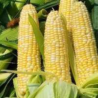 山东济宁汶上县玉米干粮 霉变≤1% 净货