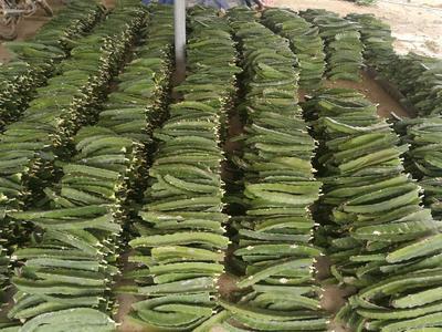 广东省湛江市吴川市火龙果种子