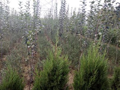 山东泰安岱岳区维纳斯黄金苹果苗 1~1.5米