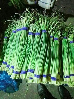 这是一张关于金乡红帽蒜苔 一茬 50~60cm 通货的产品图片