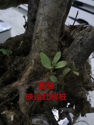 安徽省六安市霍山县映山红 0.5米以下
