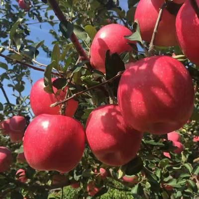 山东泰安岱岳区红富士苹果苗 1~1.5米