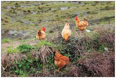 这是一张关于土鸡 统货 4-5斤 的产品图片