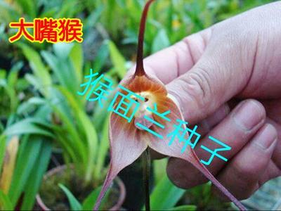 广东广州荔湾区猴面兰种子 不含盆