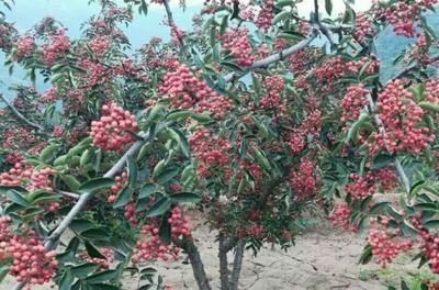 陕西渭南韩城市花椒种子