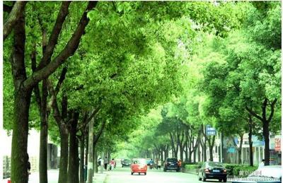四川宜宾翠屏区全冠香樟