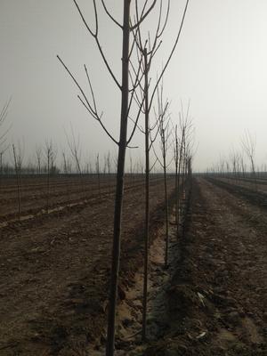 河北邢台威县速生白蜡 2.5~3米
