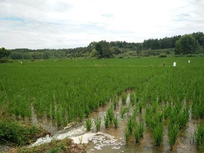 四川绵阳安县稻鸭共生有机大米 绿色食品 中稻 一等品