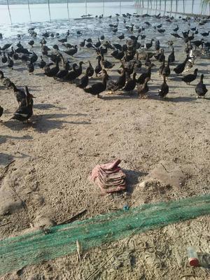 广西北海铁山港区杂交鸭 统货 6-7斤