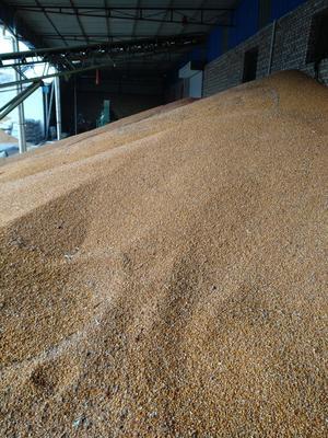 山西大同浑源县玉米干粮 霉变≤1% 净货