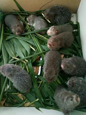 云南德宏瑞丽市中华竹鼠苗