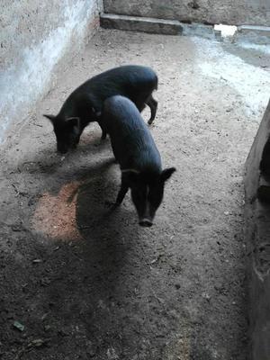 北京顺义土黑猪苗