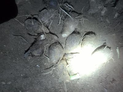 山东日照岚山区芋头8520 5cm以上