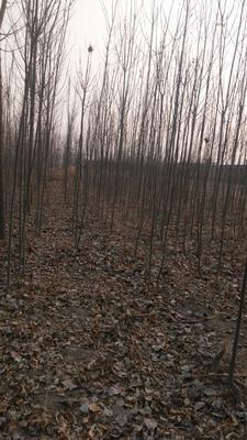 河北沧州献县小叶白蜡树 3~3.5米