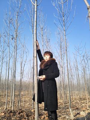 河北沧州献县速生白蜡 2.5~3米