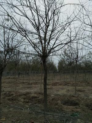 山东滨州沾化区老式白蜡 3~3.5米