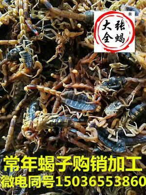 河南省洛阳市涧西区东亚钳蝎