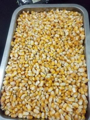 山东德州武城县玉米干粮 霉变≤2% 净货