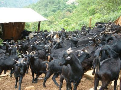 这是一张关于黑山羊 50-80斤的产品图片