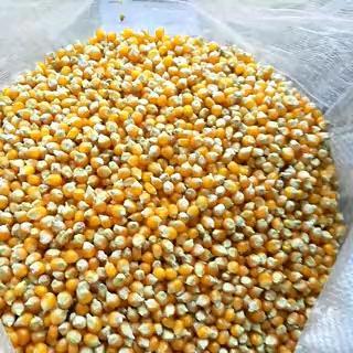 河南鹤壁浚县爆裂玉米 霉变≤1% 净货