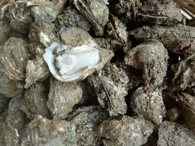 广西北海海城区北海牡蛎 人工殖养 1-3只/公斤