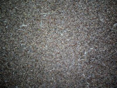 内蒙古呼伦贝尔鄂伦春自治旗普通小麦