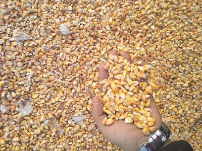 黑龙江齐齐哈尔富裕县玉米干粮 霉变≤1% 净货
