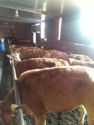 这是一张关于西门塔尔牛 800-1000斤 母牛的产品图片