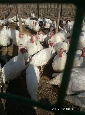 山东德州齐河县尼古拉火鸡 10-15斤