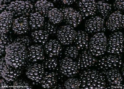 黑龙江大兴安岭大兴安岭地区加格达奇区野生黑莓