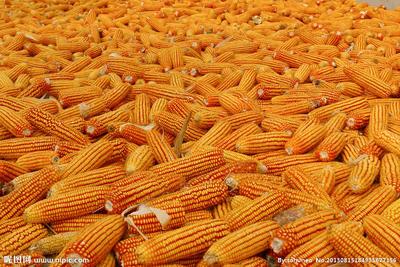 河北沧州青县玉米湿粮 霉变≤2% 净货