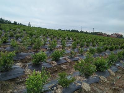 吉林白山临江市美登蓝莓 鲜果 2 - 4mm以上