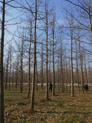 山东菏泽郓城县银杏实生树