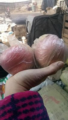 安徽宿州砀山县红富士苹果 膜袋 全红 70mm以上