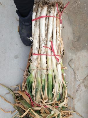 山东枣庄滕州市铁杆大葱 2cm左右 25~30cm 毛葱