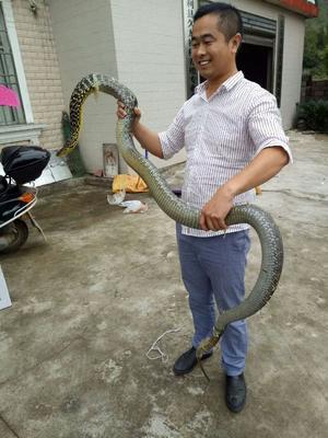 湖南张家界慈利县王锦蛇 食用