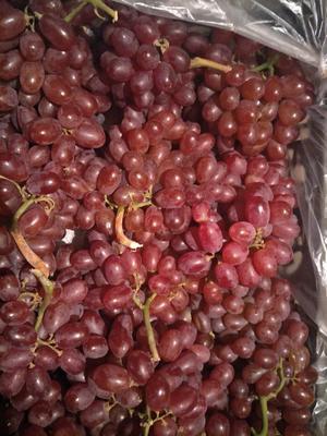 河北石家庄晋州市克伦生葡萄 5%以下 1次果 1-1.5斤
