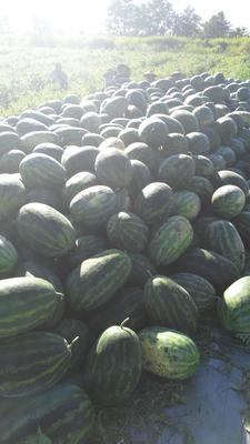 湖南怀化鹤城区缅甸西瓜 有籽 2茬 8成熟 10斤打底